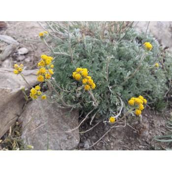 Fleurs de génépi pour la liqueurs, plantes des alpes dans les montagnes