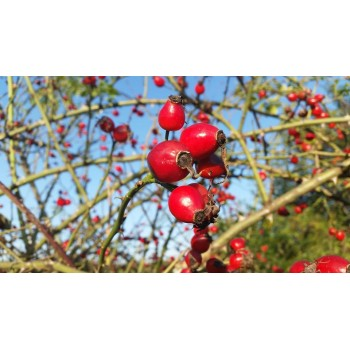 """Plante de Cynnorrhodon """"gratte-cul"""""""