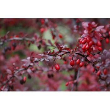 Plante d'Epine Vinette