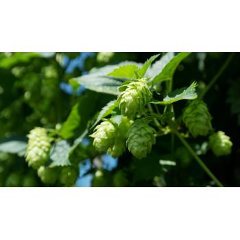 Fleurs de houblon, la plante qui donne de l'amertume à la bière IPA la sauvage de la brasserie des hautes vallées