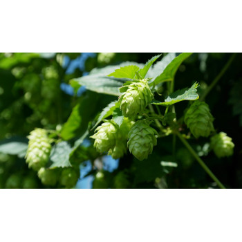 Fleurs de houblon, la plante qui donne de l'amertume à la bière IPA la sauvage del a brasserie des hautes vallées